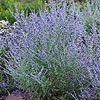 Russian Sage PEEK-A-BLUE