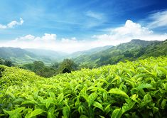 Healthy and enjoyable life with Maggenta personalized wallpapers. Recreate your world with Green tea plantations on the slope of the valley, wall mural. Normal Wallpaper, Standard Wallpaper, Scenery Wallpaper, Green Tea Plant, Forest Stewardship Council, Textured Wallpaper, Custom Wallpaper, Wall Design, Wall Murals