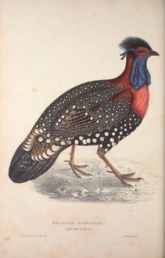 Tragopan hastingsii. A century of birds from the Himalaya Mountains London,1831. Biodiversitylibrary. Biodivlibrary. BHL. Biodiversity Heritage Library