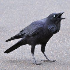 There are not enough words to express how much I wish I could have my own personal raven companion.  Especially when they're juveniles and have those dreamy crystal blue eyes!  I am in the crone years now, not enough gumption to do all the schooling it would require to get licensed to handle wild birds.