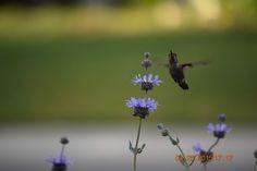 Hummingbird on sage hybrid, Fresno, Ca