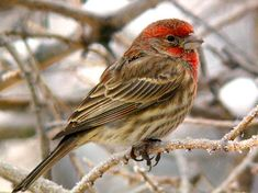 male house finch  - orangish red eyebrow and throat with grayish auriculars (ear patch).