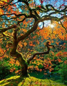 Curling tree with bright colors - Beautiful nature images, photos and pictures of trees and forests, landscape photographs. Nature photography that takes your breath away. Foto Nature, Landscape Photography, Nature Photography, Color Photography, Portland Japanese Garden, Japanese Gardens, Nature Tree, Nature Nature, Tree Forest