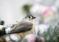 """Tufted Titmouse Portrait Greeting Card for sale by Christina Rollo.  Our premium-stock greeting cards are 5"""" x 7"""" in size and can be personalized with a custom message on the inside of the card.  All cards are available for worldwide shipping and include a money-back guarantee."""