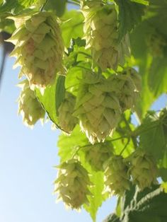 Hops in Containers - Growing Info