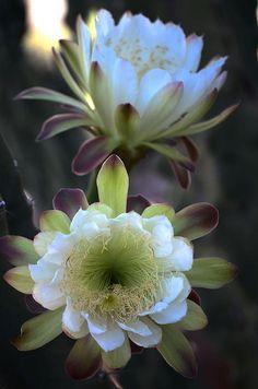 Night-blooming Cereus (Hylocereus undatus) flowers.