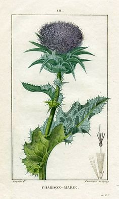 Pierre Turpin Ladies Thistle (Carduus) 1818 - still life quick heart Illustration Botanique, Plant Illustration, Botanical Illustration, Vintage Botanical Prints, Botanical Drawings, Antique Prints, Botanical Flowers, Botanical Art, Nature Prints
