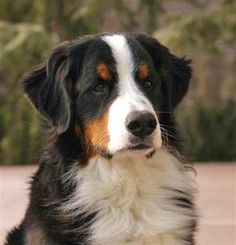 The Bernese Mountain Dog, called in German the Berner Sennenhund, is a large breed of dog, one of the four breeds of Sennenhund-type dogs from the Swiss Alps. Description from imgarcade.com. I searched for this on bing.com/images