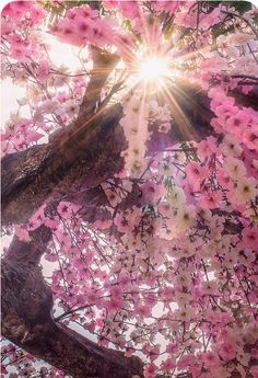 When To See Japans Cherry Blossom Trees in Full Bloom Beautiful World, Beautiful Places, Beautiful People, Image Zen, Blossom Trees, Cherry Blossoms, Pink Blossom, Blossom Flower, Jolie Photo