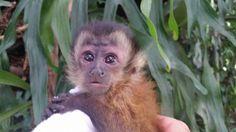I REALLY want a Capuchin Monkey!!!!!!