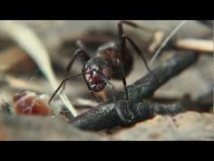 """19 min  """"Imperium""""- mrówki, film przyrodniczy, krótkometrażowy ILLUVISION STUDIO Grzegorz Dominiak - YouTube"""