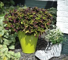 NGB Year of the Coleus: Main Street Rodeo Drive is a perfectly shaped, uniform variety that is heat tolerant, deer resistant, and Sun OR Shade!
