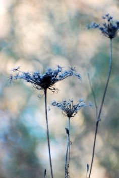 Queen Anne's Lace is said to have been named after Queen Anne of England, an expert lace maker. English legend tells us that Queen Anne challenged the ladies of the court to a contest to see who could produce a pattern of lace as lovely as the flower of this plant. No one could rival the queen's handiwork. She however, pricked her finger with a needle and a single drop of blood fell into the lace, that is said to be the dark purple floret in the center of the flower.