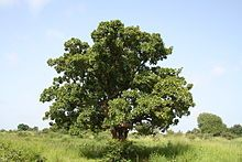 """The shea nut comes from a tree in Western and Central Africa, called the Karite tree (Also rightfully named, """"The Tree of Life""""). Michelle's Herbal Product's creates a shea butter emollient which comes from the karite tree. Raw Shea Butter, Unrefined Shea Butter, Cure, Cuts And Bruises, Exfoliant, Jpg, Castor Oil, Skin Treatments, Science And Nature"""