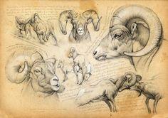 >oo MARCELLO PETTINEO oo< 51 - Mouflon