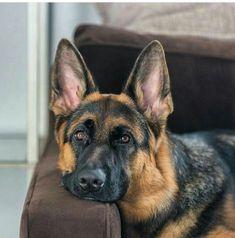 German Shepherd so handsome!