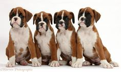 WP38652 Four Boxer puppies, 8 weeks old, sitting.