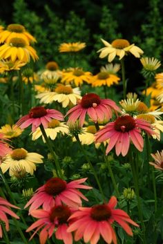 Echinacea 'Cheyenne Spirit' (coneflower) - Perennial - Zones 4-10, Height 24-30 in. A 2013 All-America Selection Award Winner, and for good reason - they're durable, easy to grow and GORGEOUS! A mix of colors from rich purples, pinks, reds and oranges to lighter yellows, creams and whites makes a bold statement in your perennial border, butterfly garden or patio container. Drought tolerant and low maintenance, they don't require deadheading to maintain their flower power!