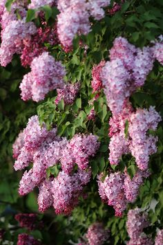 Lilac Tree, Lilac Flowers, Exotic Flowers, Beautiful Flowers, Bush With Purple Flowers, Purple Roses, Pink, Trees And Shrubs, Trees To Plant