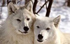 Dwa wilczki