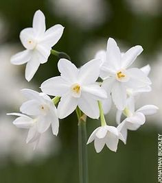 Paperwhite Narcissus- Narcissus papyraceus, when forcing indoors switch from pure water to 1 part alcohol to 7 parts water when stems are a few inches tall to stunt leaf and stem growth. Prevents leggy floppy plants, even in shallow dishes...