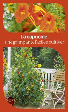 La capucine, elle grimpe partout et donne des fleurs orange tout l'été.