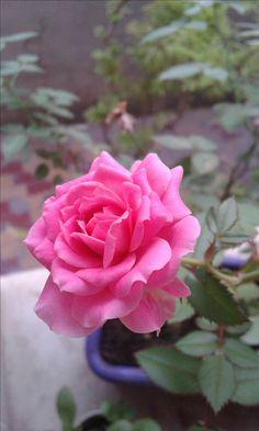 Primeira rosa da minha mini Roseira.