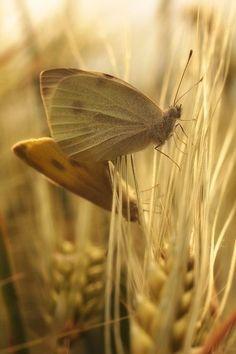 Golden Harvest, Golden Sun, Fields Of Gold, Sun Photo, Butterfly Kisses, Butterflies, Field Of Dreams, Butterfly Pictures, Wheat Fields
