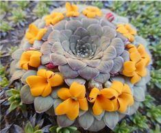 It is an attractive perennial plant with solitary or few to several rosettes of green, ovate leaves. Succulent Gardening, Container Gardening Vegetables, Planting Succulents, Planting Flowers, Blooming Succulents, Colorful Succulents, House Plants Decor, Plant Decor, Orchid Care