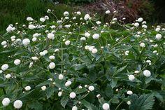 Cottage Garden - Ranunculus aconitifolius 'Flore Pleno'
