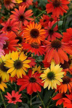 Echinacea 'Cheyenne Spirit' #garden #flower