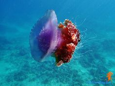 crown jellyfish on an early morning swim at Mangodlong Rock Beach Resort in Camotes Is. Cebu, Jellyfish, Beach Resorts, Early Morning, Underwater, Shots, Swimming, Crown, Celestial