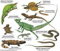 Most lizard populations are evenly divided between females and males. Deviations from this pattern are found in parthenogenetic species -which arise from the hybridization of two bisexual species - number of chromosomes is double or triple - results from the mating of a sexually reproducing species with one that is parthenogenetic - offspring are called allotriploid