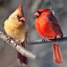 cardinal birds - Google Search