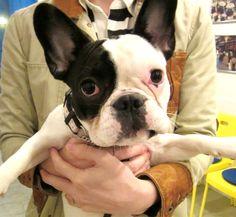 Ms.Omusubi, the French Bulldog