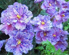 100PCS Beautiful plant Bonsai flower seed,African violet seeds Garden Plants Violet Flowers Perennial Herb