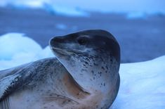 A beautiful Leopard seal in Antarctica. At Oceanwide Expeditions we've seen a lot of these beautiful seals. They look kind of cute, but be aware .. they are an aggressive breed.