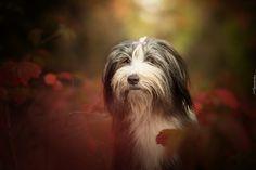 Pies, Bearded collie, Głowa, Jesień, Liście, Rozmyte Tło