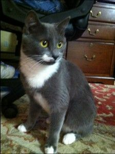 Gray Cat With White Paws : white, White, Chest, Breed, CatWalls