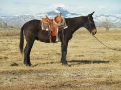 Blacky - Black Mule for Sale - For more information click on the image or see ad # 33994 on www.RanchWorldAds.com