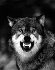50 Ideas For Tattoo Wolf Realistic Wolves Art - 50 Ideas For Tattoo Wolf Realistic Wolves Art - Wolf Tattoo Design, Wolf Photos, Wolf Pictures, Wolf Love, Wolf Tattoos, Beautiful Wolves, Animals Beautiful, Snarling Wolf, Angry Wolf