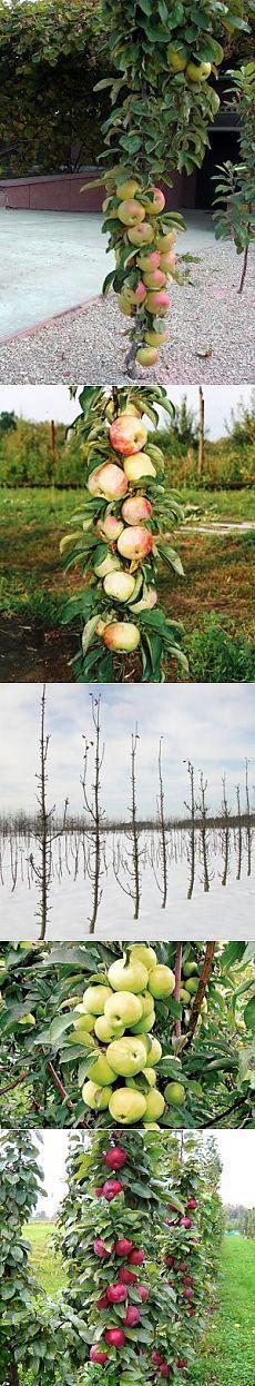 Все о разнообразии сортов колоновидных яблонь и методах их выращивания