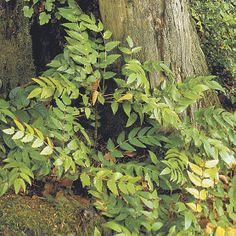 Mahonia nervosa (Longleaf Oregon grape) - shady evergreen (3 seasons)