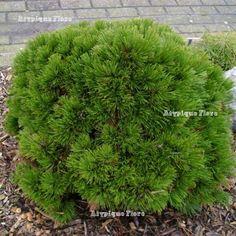 Pinus heldreichii (leucodermis) 'Smidtii' (Schmidtii) : max 1m haut x large. Chez Atypique Flore.