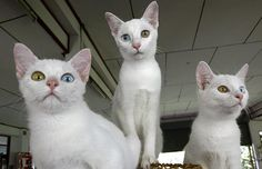 The khao manee (white jewel) is a pure white cat, which originated in Thailand, is also known as the diamond eye cat. They can have blue eyes, gold eyes or one of each, with the mixed-eye variety being the most popular (and generally the most expensive). Crazy Cat Lady, Crazy Cats, Siamese Cats, Cats And Kittens, Derpy Cats, Cat Park, Cats 101, Curious Cat, White Cats