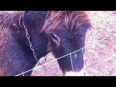 magareca - donkey posla: Bony hoce grickati