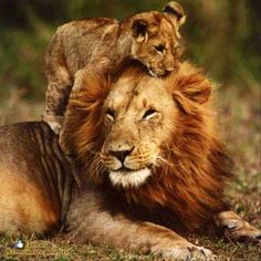 Daddy lion and cub