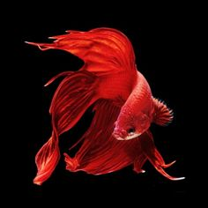 Incredible Pictures of Siamese Fighting Fish | Balcan Expres