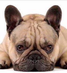 French Blulldog