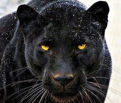 Salviamo la pantera 🐆🖤🌎💔Save the panther 🐆🖤🌎💔in via d'estinzione 💔🌎in extinction 💔🌎 Black Panther Cat, Black Panther Tattoo, Black Panthers, Jaguar Noir, Beautiful Cats, Animals Beautiful, Animals And Pets, Cute Animals, Wild Animals